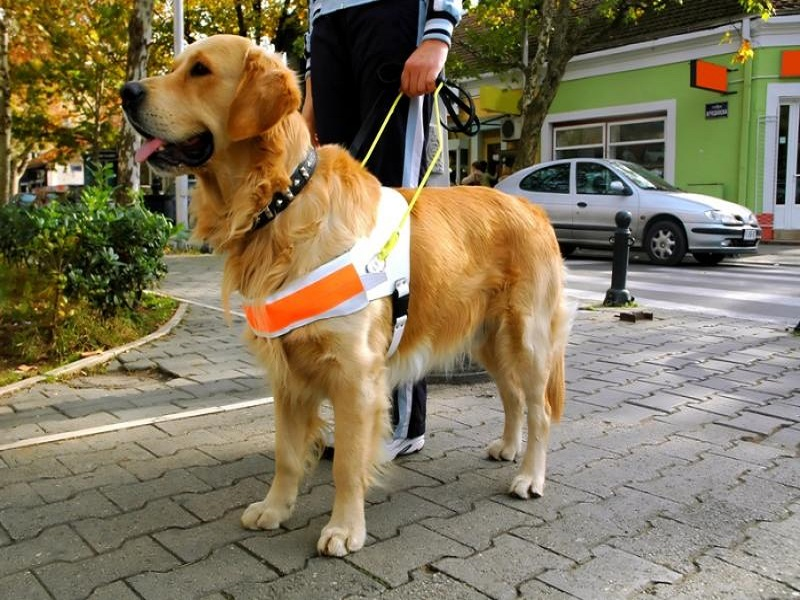 Un chien guide Golden retriever